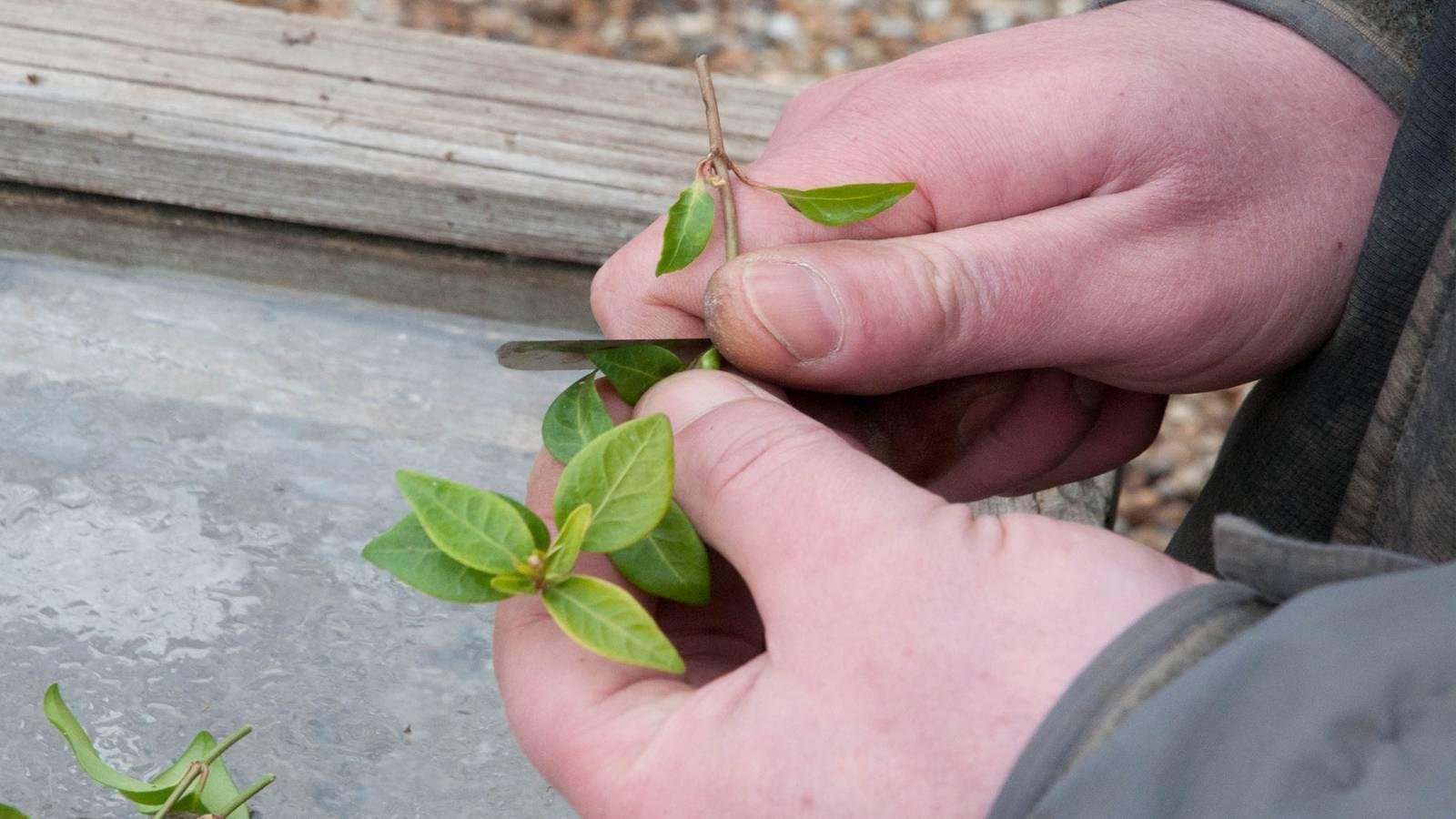 Барвинок (49 фото): что это за растение? посадка и уход в открытом грунте, выращивание на урале, описание сортов и видов с названиями