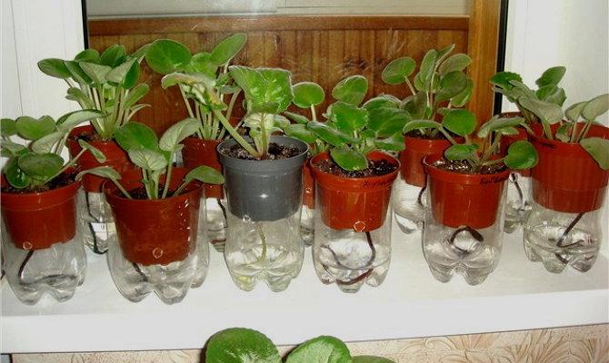 Ахименесы: особенности ухода и выращивание
