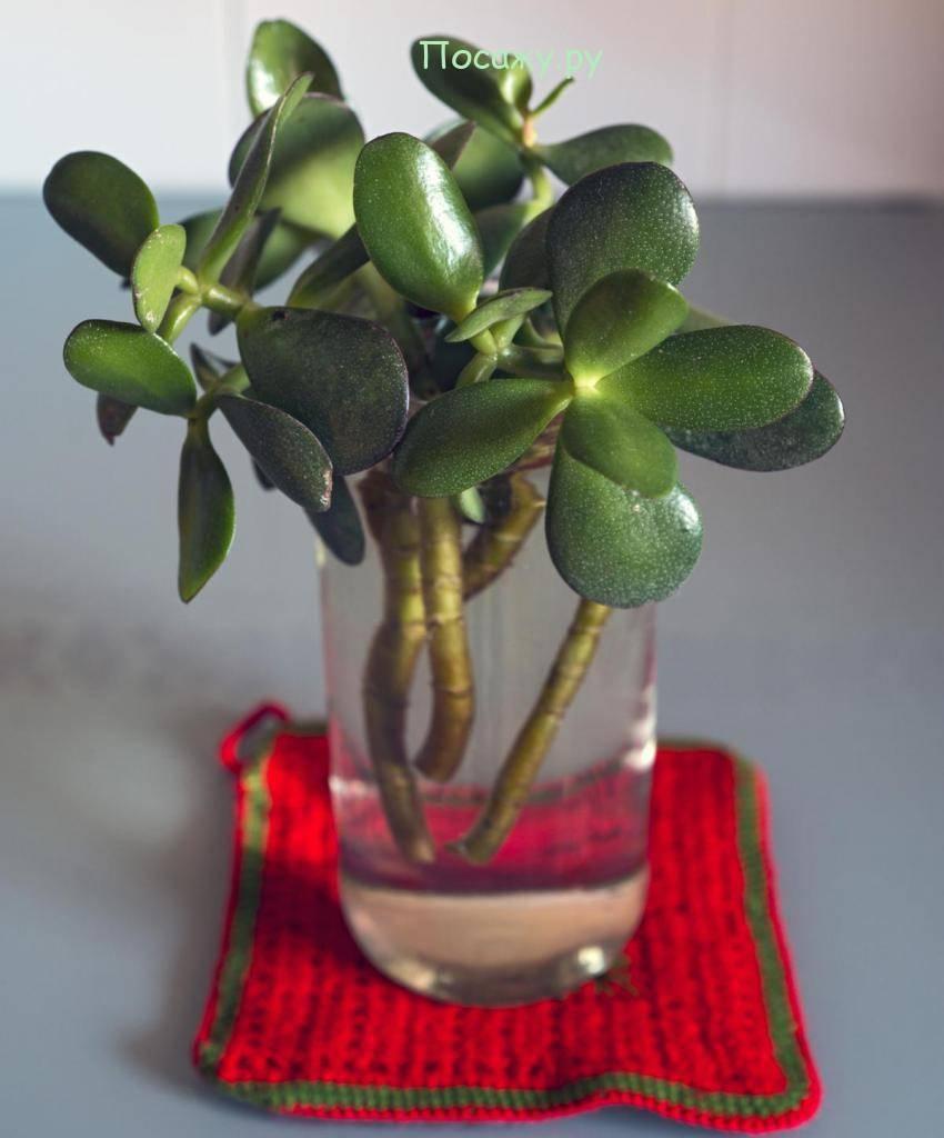 Денежное дерево: уход в домашних условиях. способы размножения, требования к освещению, поливу. как добиться цветения