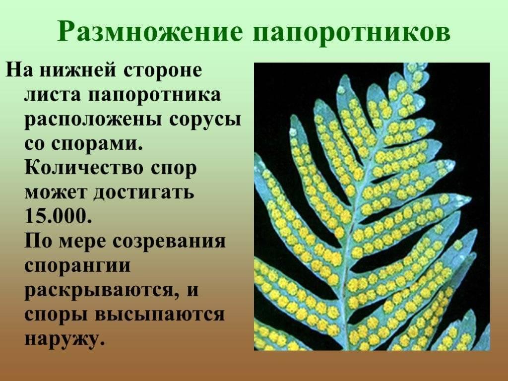 Выращивание папоротника орляк в открытом грунте: как размножается и цветет