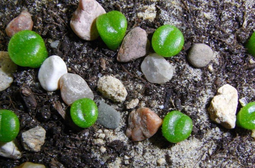 Микробиота (36 фото): особенности перекрестнопарных растений, правила посадки и ухода, примеры в ландшафтном дизайне
