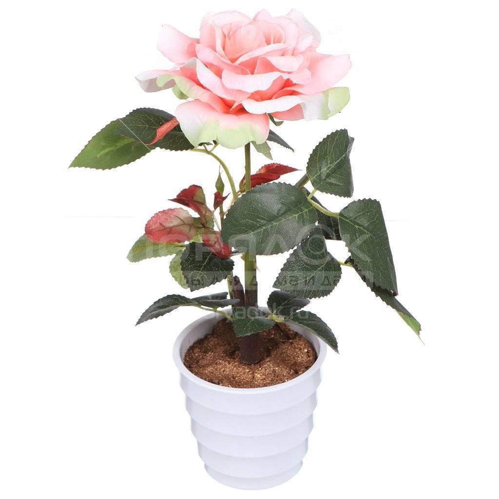 Какого ухода требуют мини-розы в горшочках и как их правильно выращивать в домашних условиях?