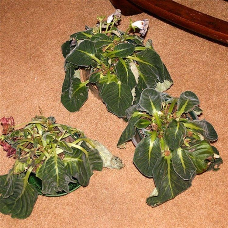 Как посадить глоксинию листом: что сделать, чтобы укоренить черенок правильно, почему он иногда пропадает в земле и каким образом выглядит такой цветок на фото?