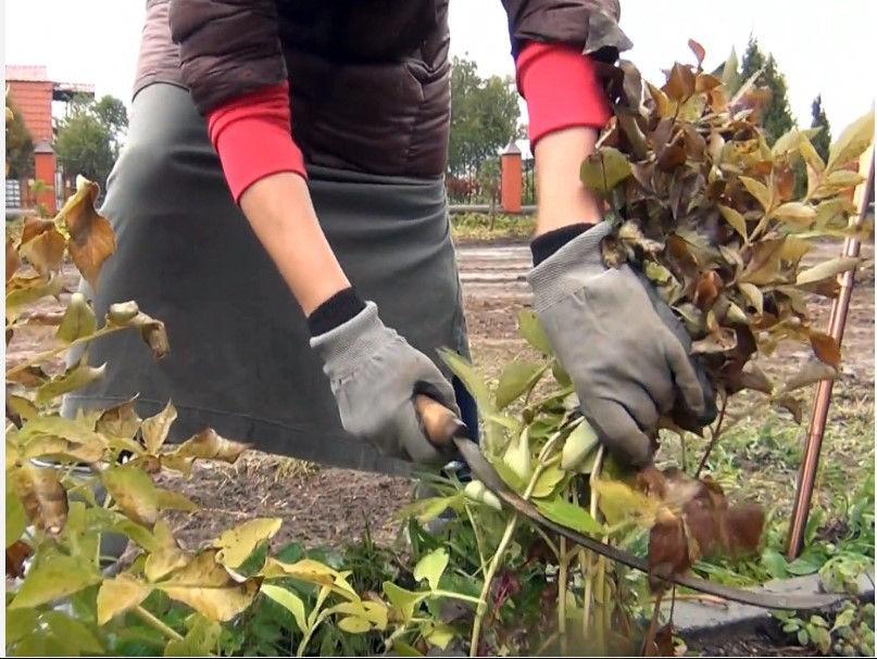 Чем подкормить клематис весной для пышного цветения в саду: советы, видео