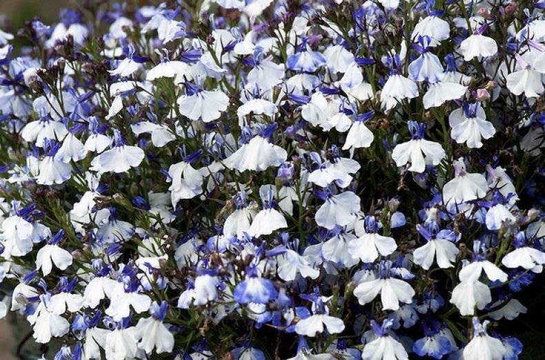 Как цветет лобелия ампельная — белая, синяя, голубая