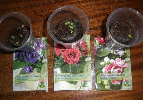Семенное и вегетативное размножение глоксинии: пошаговые инструкции