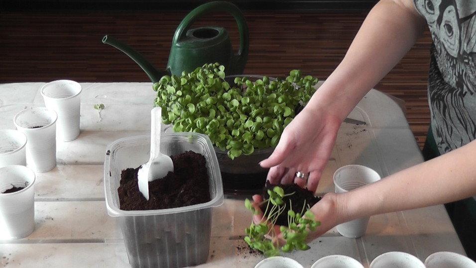 Розмарин — выращивание в квартире, уход