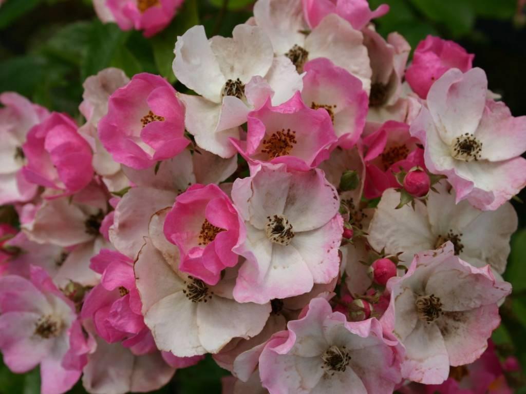 Описание парковой розы балерина: что это за мускусный сорт, другие разновидности