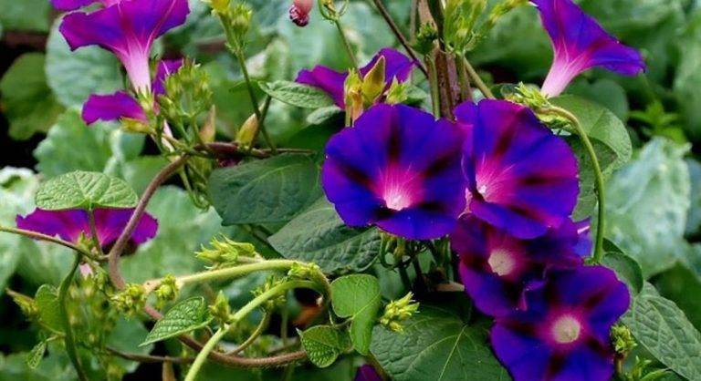 Ипомея пурпурная (31 фото): посадка и уход за цветком, сорта «звездный вальс» и «ноулианз блэк», смесь окрасок «райские звезды»