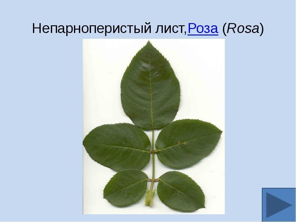 По каким 5 признакам можно отличить розу от шиповника