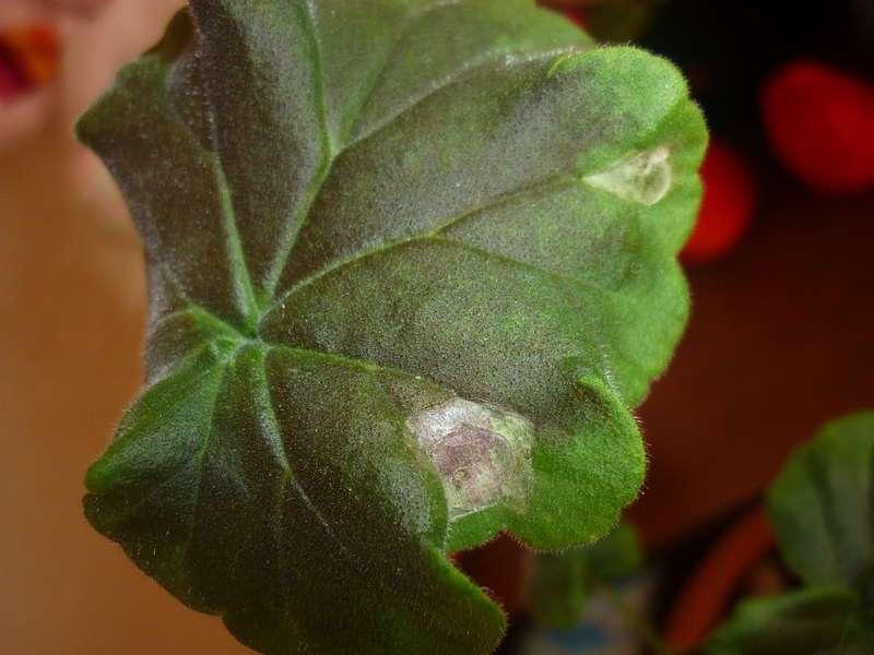 Ампельная герань — уход в домашних условиях, болезни пеларгонии плющелистной