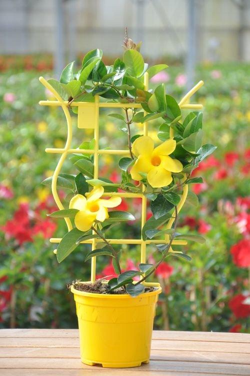 Дипладения: виды и сорта, агротехника ухода