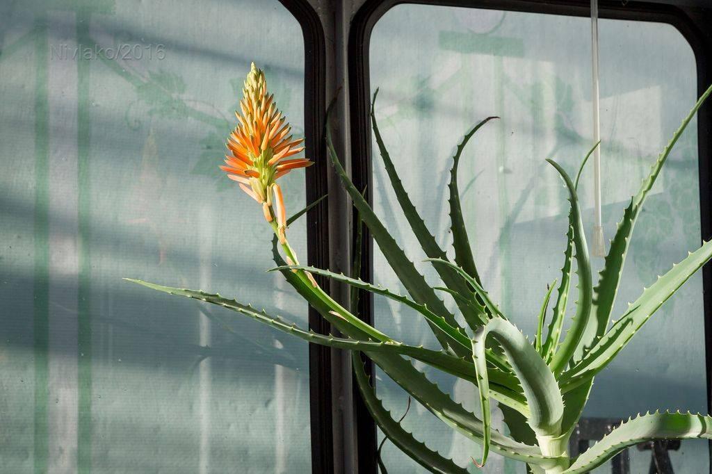 Чем подкормить алоэ в домашних условиях: как правильно выбрать удобрение для комнатного растения и что будет, если его не применять?