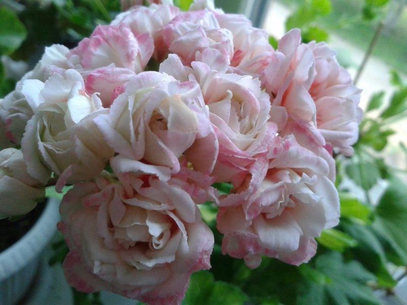 Герань кембриджская: описание и особенности выращивания