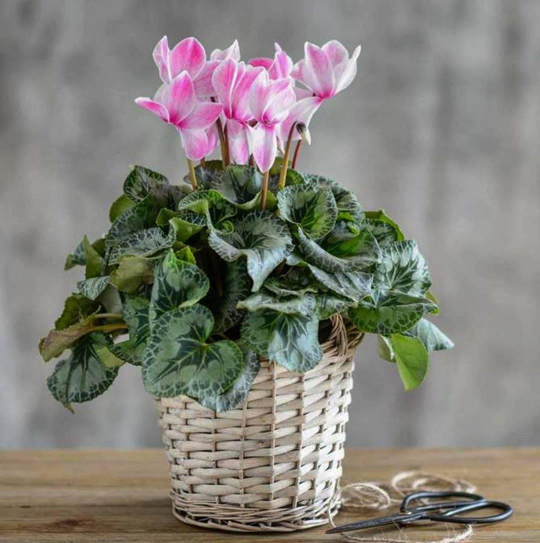 Пересадка цикламена в домашних условиях в другой горшок: когда можно и как пошагово проводить данную процедуру, как разделить цветок, а также фото, уход за растением