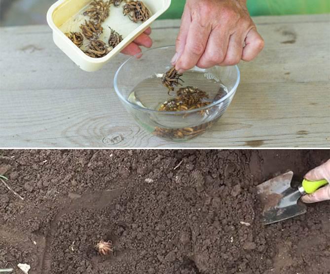 Лютик азиатский или ранункулюс: посадка и уход в открытом грунте, фото, виды и сорта многолетника с эффектными бутонами