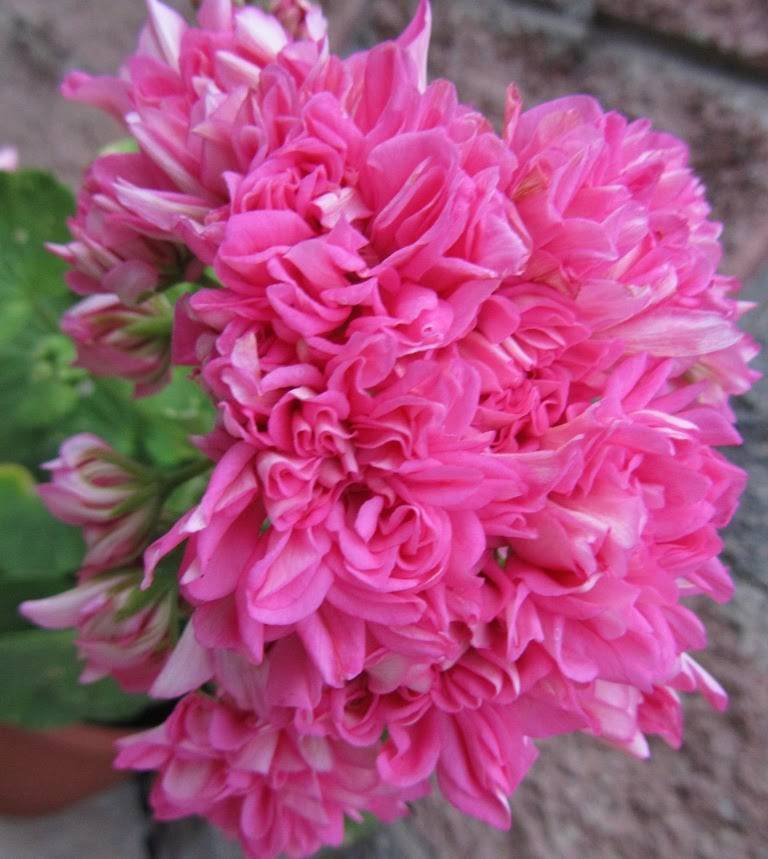 Пеларгония анита: описание и фото цветка, как правильно размножать, выращивать и обрезать растение, практические советы по уходу
