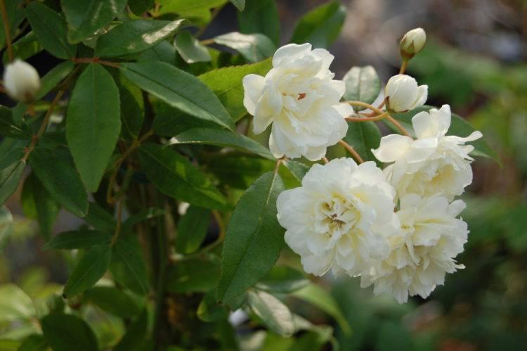 Сорта роз с фото и названиями