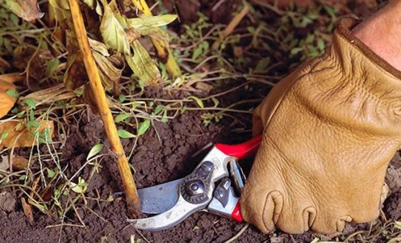Памятка: секреты посадки и выращивания древовидного пиона