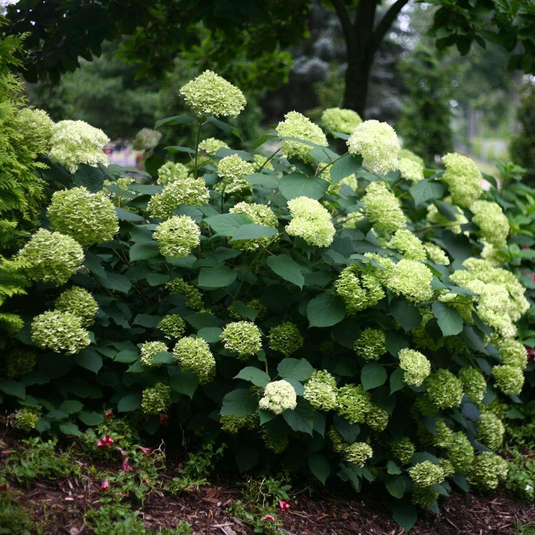 Почему у гортензии появились зеленые цветы и как изменить их окраску