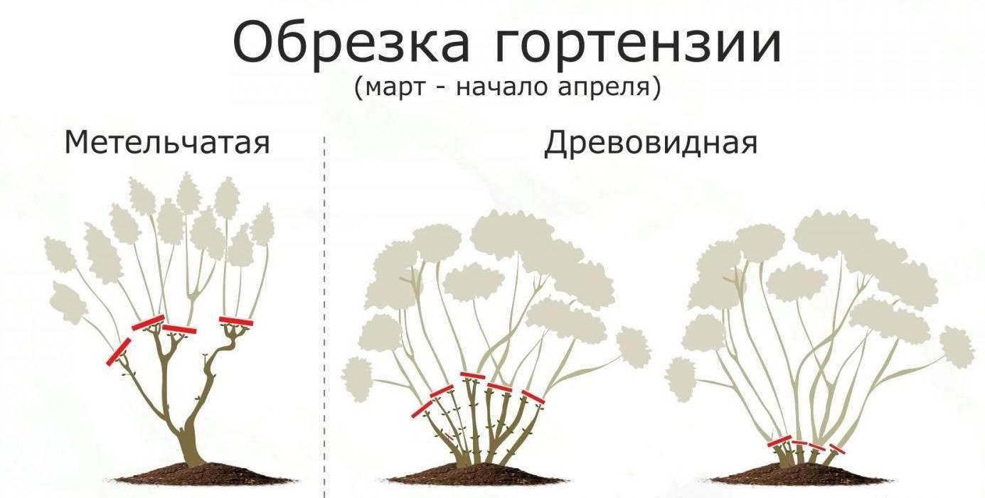 Что делать, если у гортензии чернеют и сохнут листья