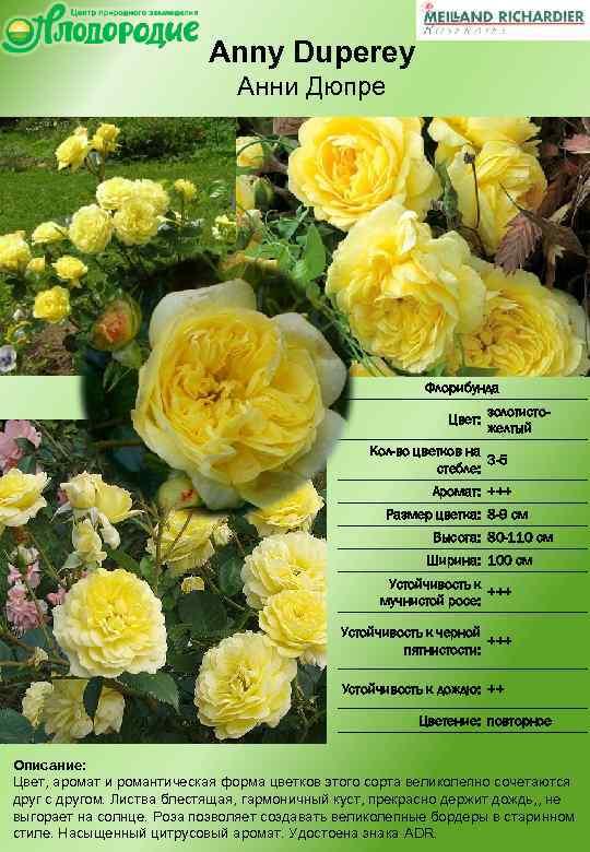 Лучшие сорта роз флорибунда для сибири
