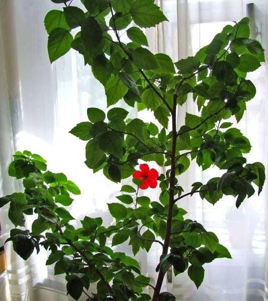 Штамбовые розы: описание, виды и тонкости посадки