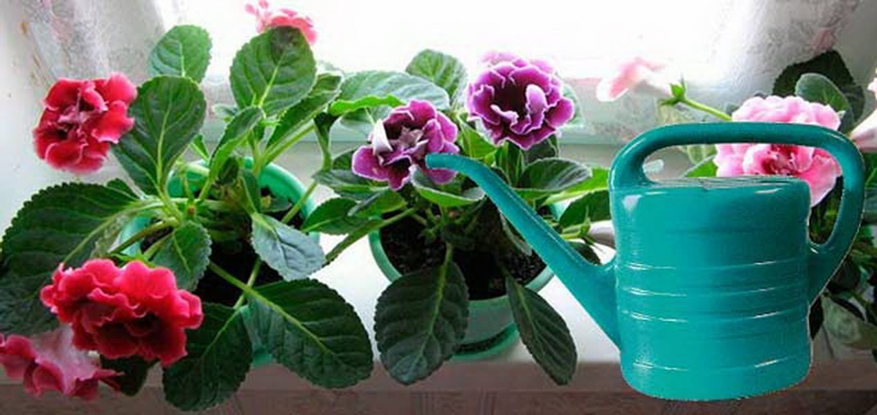Пересадка глоксинии: когда можно и как правильно ее совершать из одного горшка в другой в домашних условиях после покупки и цветения, а также уход за растением