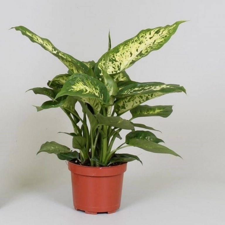 Диффенбахия dieffenbachia - виды, уход в домашних условиях, пересадка, размножение