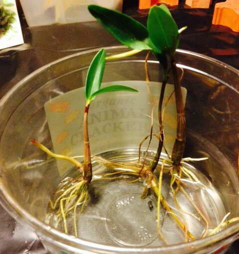 Орхидея фаленопсис: размножение в домашних условиях (фото)
