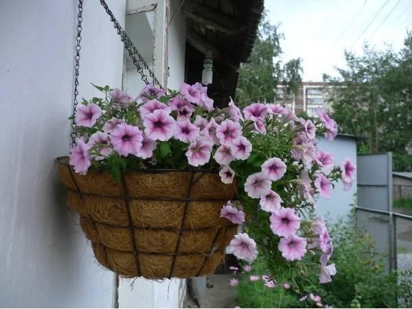 Как посадить петунию в кашпо на улице?