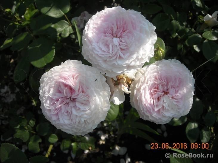 Описание розы джеймс галвей из коллекции остина: что это за сорт, как выращивать