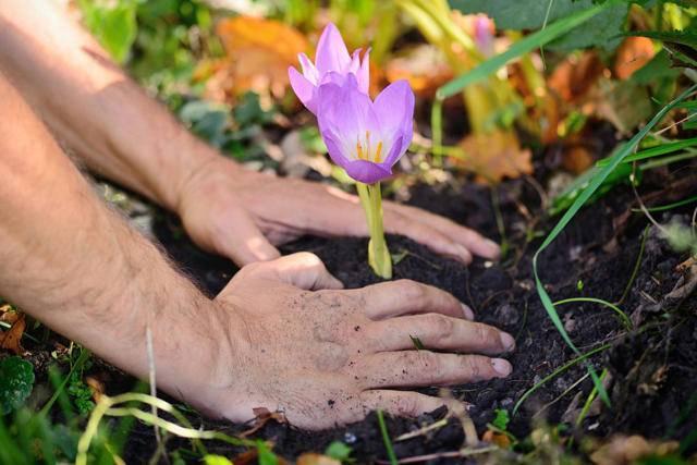 Цветок безвременник: описание, виды, руководство по выращиванию, уходу, защите