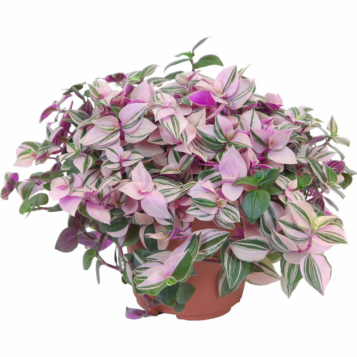 Комнатная традесканция: ампельные виды виргинская, белоцветковая, разноцветная