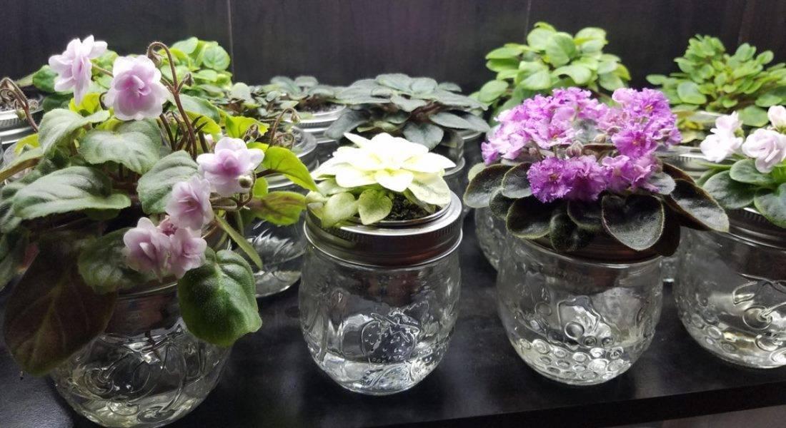 Фиалки: как правильно поливать в домашних условиях