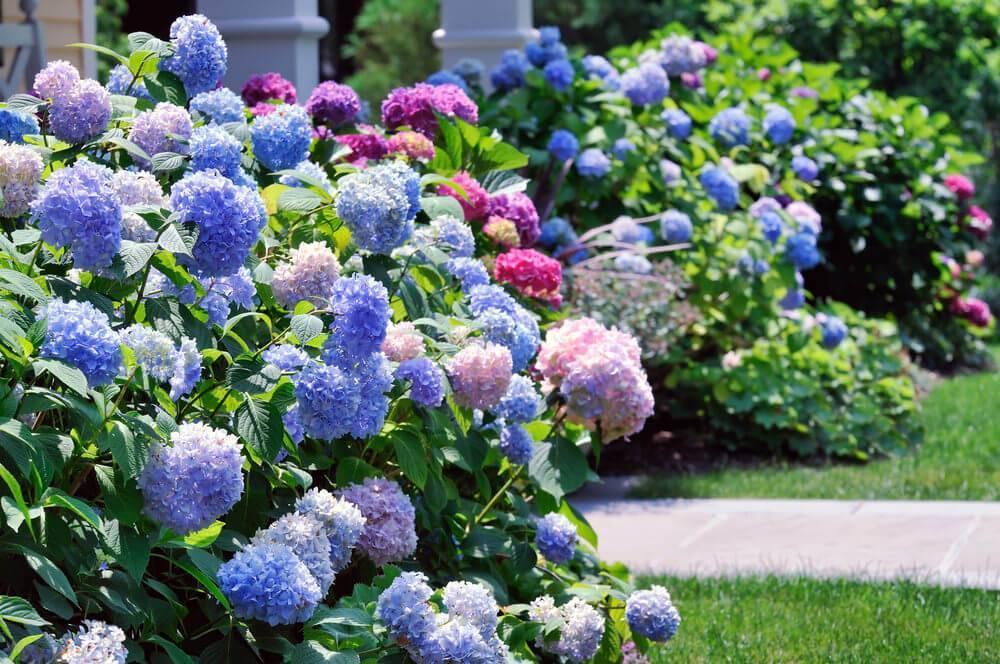 Выращивание метельчатой гортензии коттон крем (hydrangea paniculata cotton cream)