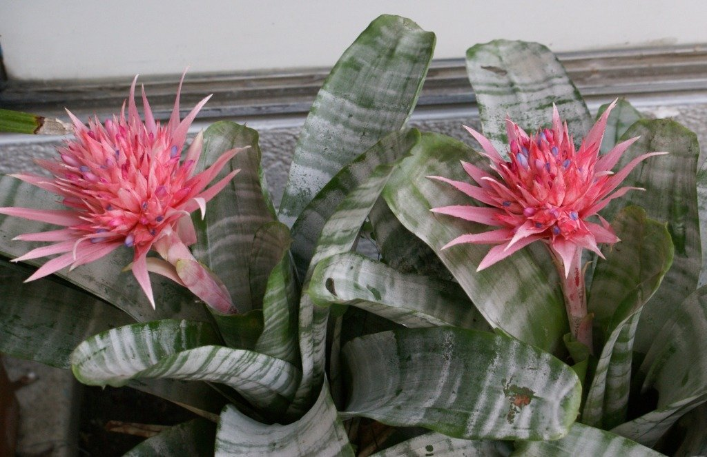 Эхмея (37 фото): уход за комнатным цветком в домашних условиях, виды растения эхмея сверкающая и «праймера», пересадка и размножение