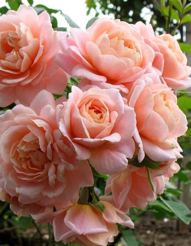 Чайно-гибридные розы: что такое, сорта с описаниями, посадка и уход