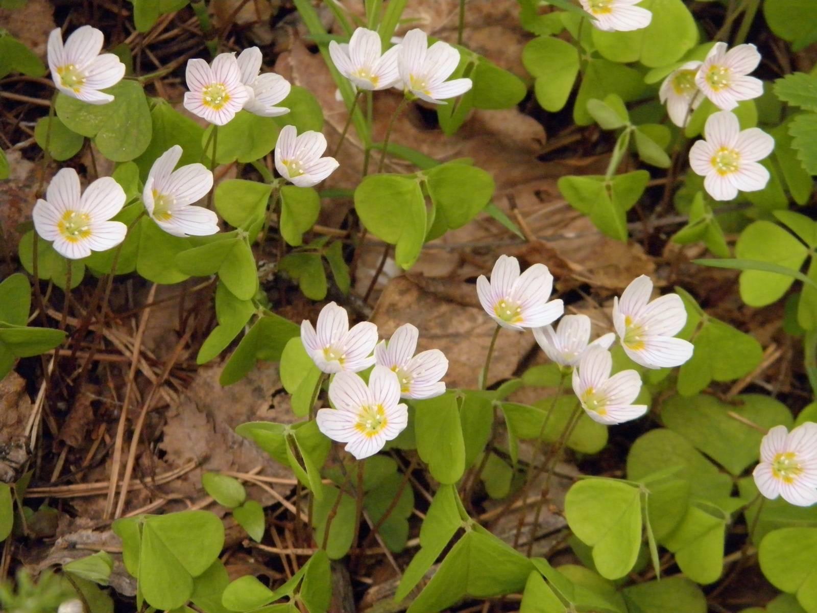 Оксалис (62 фото): описание кислицы обыкновенной, клубненосной и других видов. можно ли пересадить цветок зимой? как выглядит растение? его отношение к ветру и свету