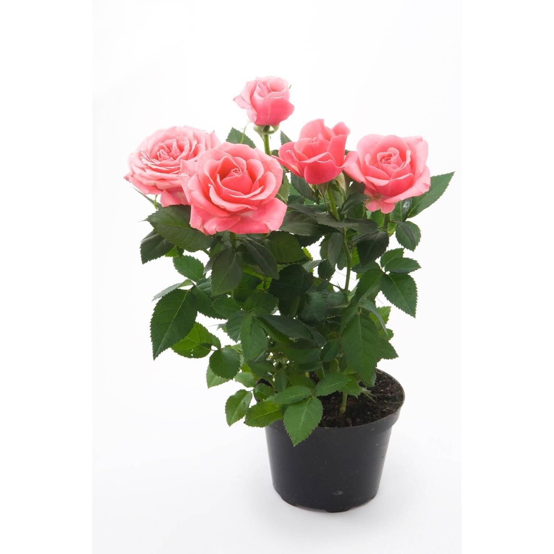 Выращивание бордюрных роз: посадка и уход в саду, сорта в ландшафтном дизайне
