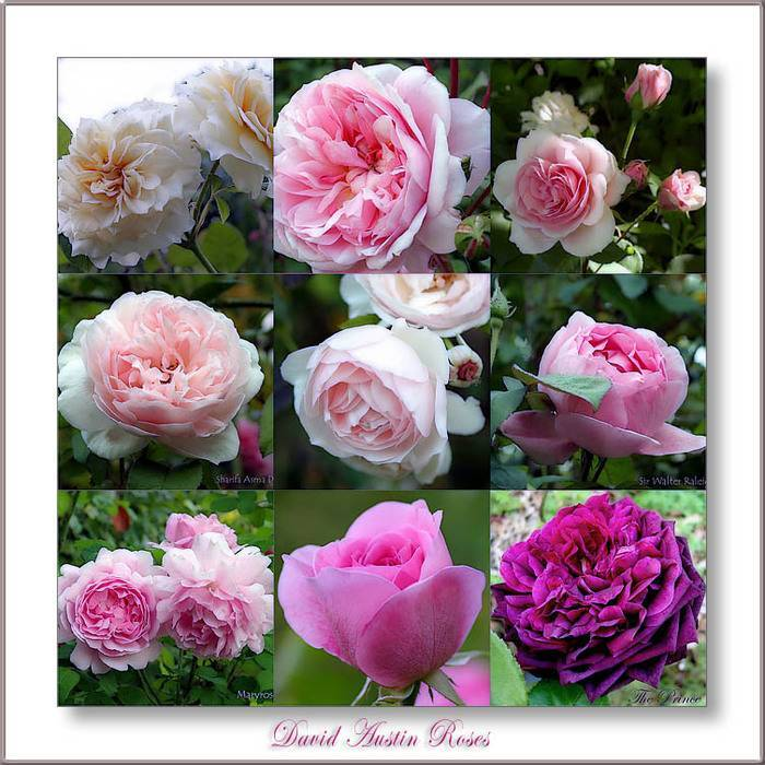Английские сорта роз девида остина