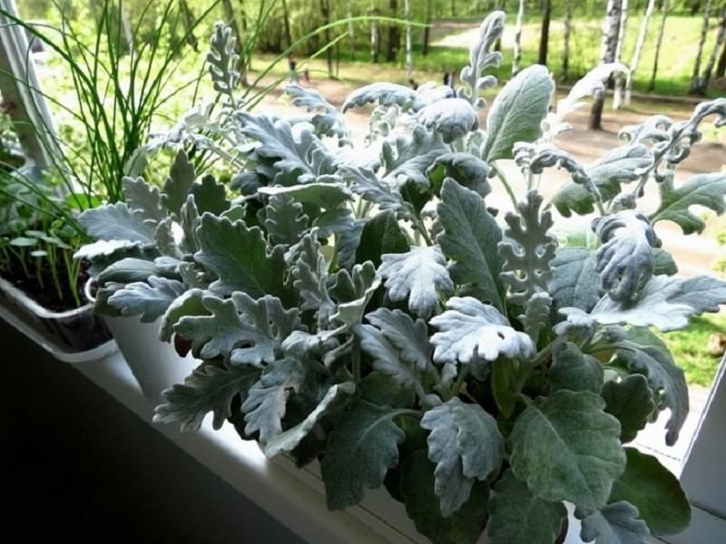 Цинерария: посадка и уход, выращивание из семян рассадой в открытом грунте