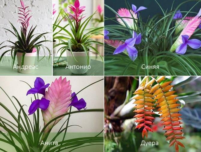 Тилландсия: описание, виды, уход и размножение
