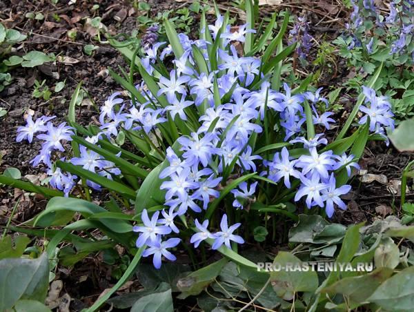Хионодокса: виды и сорта, советы по выращиванию