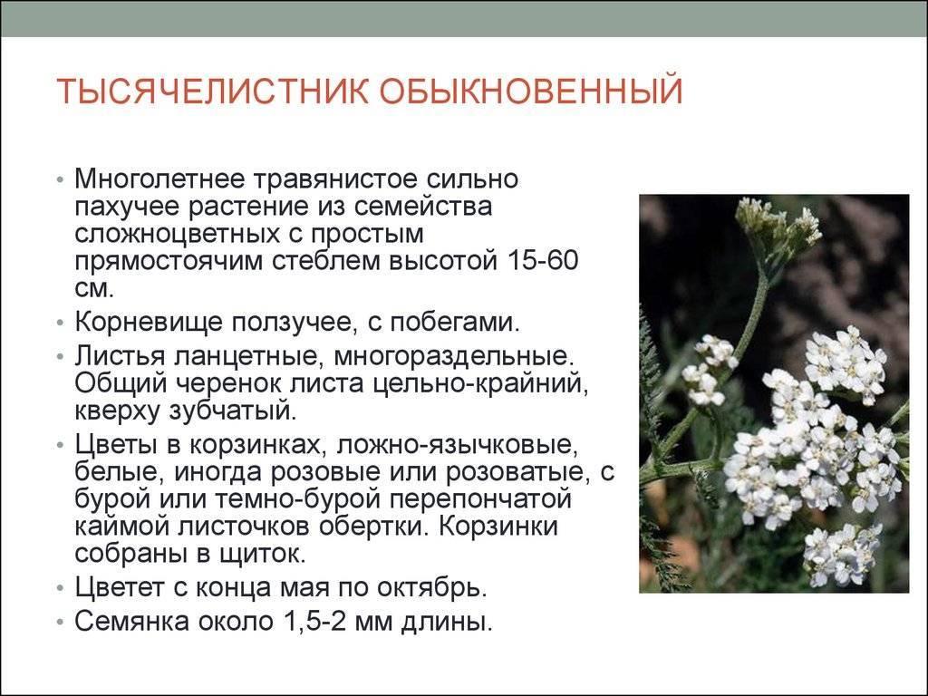 Вербена буэнос айресская, бонарская и другие сорта и виды с фото (домашняя, копьевидная, канадская, желтая многолетняя)