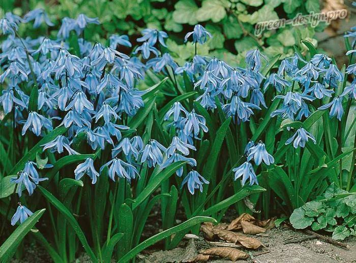 Весенний цветок пролеска или сцилла: правила посадки и выращивания в саду. пролеска сибирская (scilla siberica) пролесок цветок описание