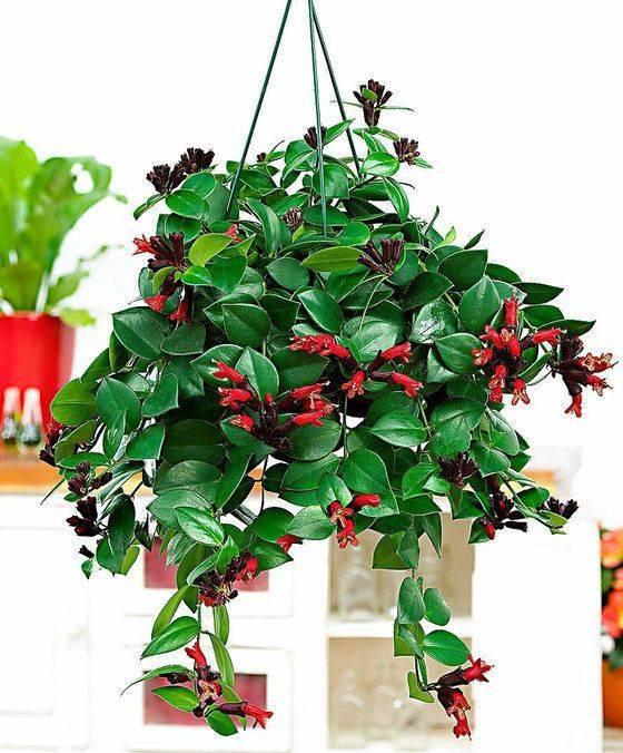 Цветок эсхинантус: фото, уход в домашних условиях, размножение