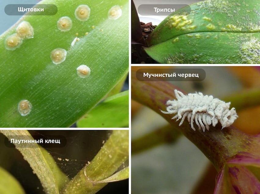 Мучнистый червец на орхидее: эффективные методы лечения и профилактики