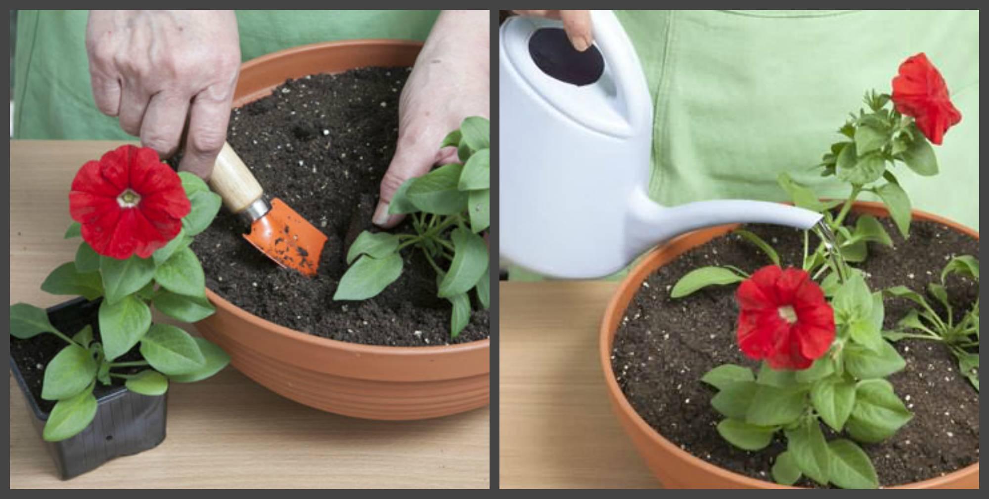 2 легких способа сохранить петунию до весны