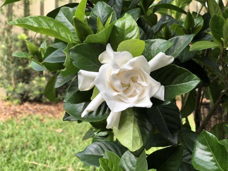 Гардения: что это за растение, описание и значение, домашняя и уличная, как пахнет, что символизирует, бонсай, фото